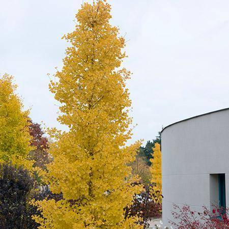 Ginkgo Goldspire Narrow Ornamental Tree