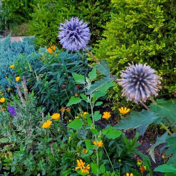 purple globe thistle flowers in the garden