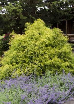 Golden Mop False Cypress Evergreen Shrub