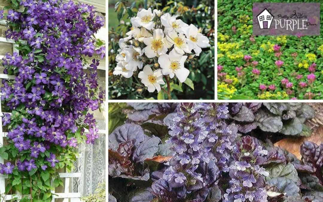 Classic Groundcovers and Vines for your Garden
