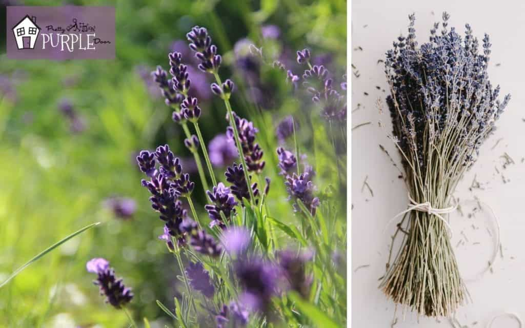 Lavender plant growing in a field and lavender in a dried bundle on the table.