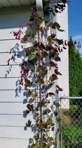 Hyacinth bean vine climbing up the gutter