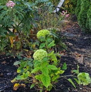 Green flowering hydrangea shrub