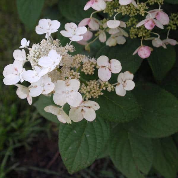 Quickfire Panicle Hydrangea Bloom