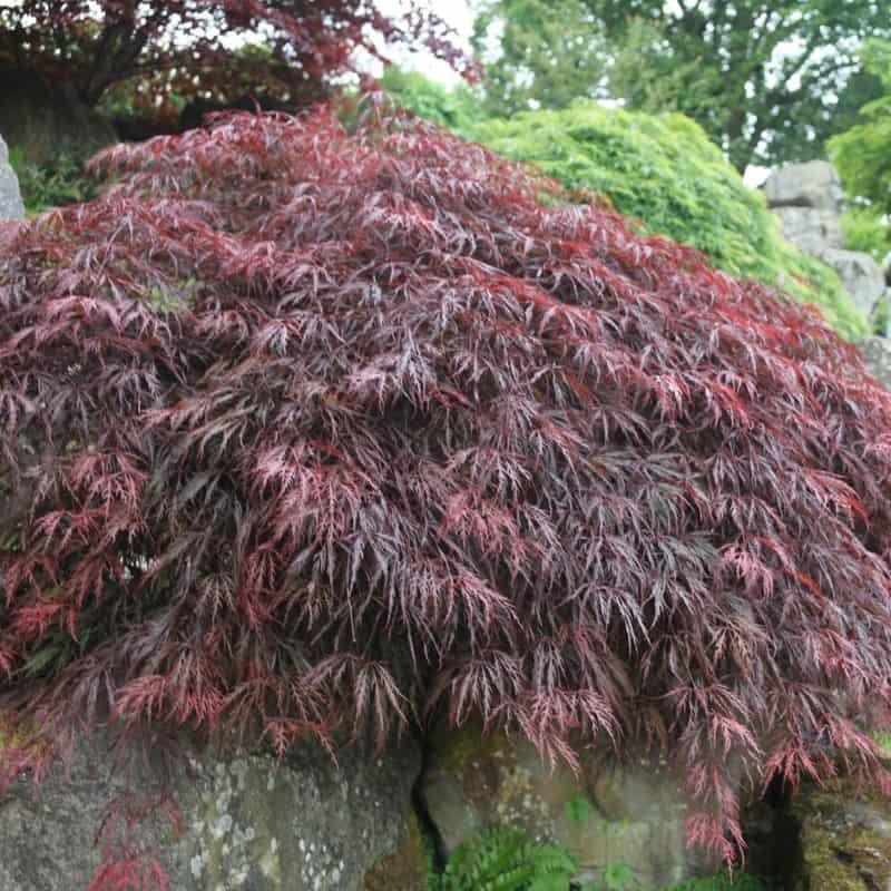 Japanese Maple 'Inaba Shidare'