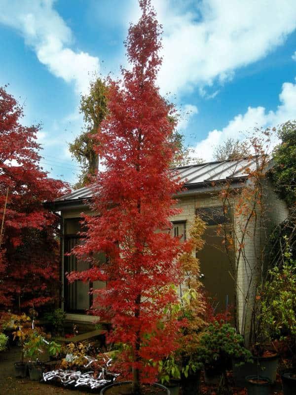 Japanese Maple Tsukasa Silhouette Narrow Ornamental