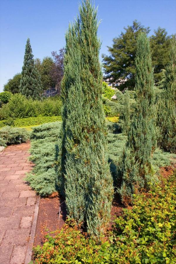 Juniper Blue Arrow Narrow Evergreen tree