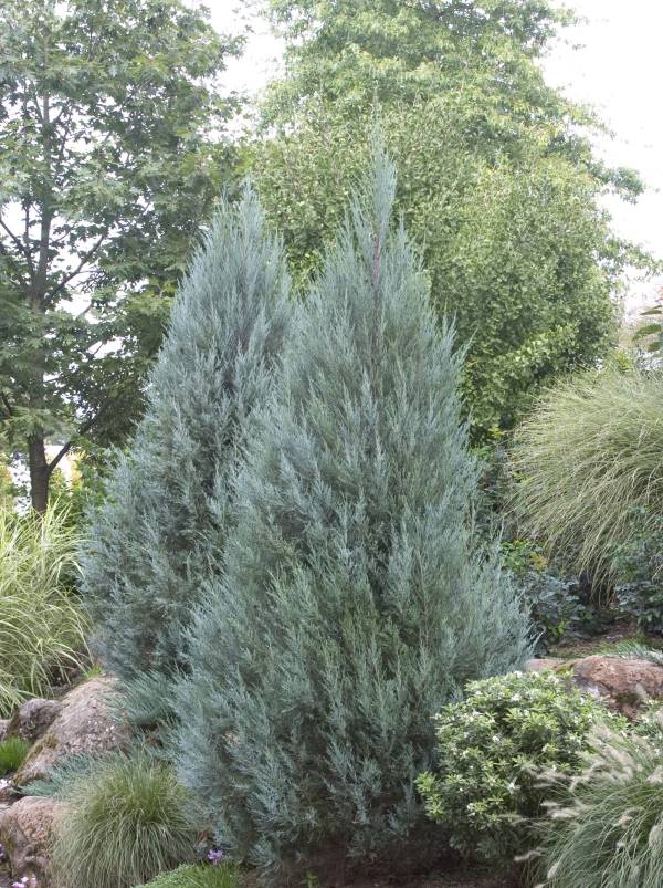 Moonglow Juniper Narrow Evergreen Tree