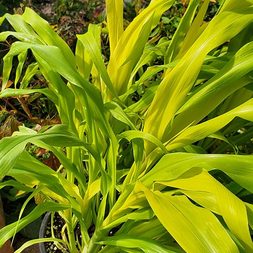 Chartreuse green millet plant with strappy leaves