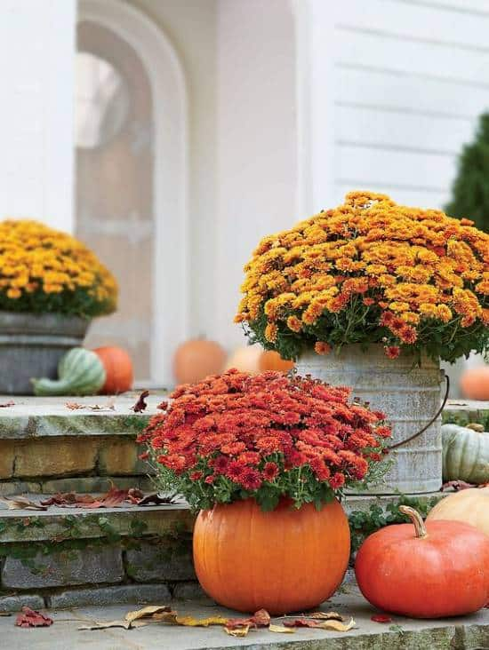 Pumpkin used as a planter with mums