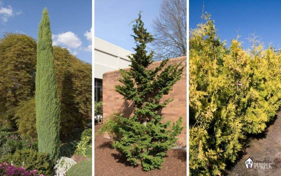 Narrow evergreen trees for year-round privacy in small yards
