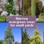 Grid of 4 Narrow Evergreen Trees for Small Yards - Green Giant Arborvitae, Pencil Point Juniper, Skyrocket Juniper, Golden Horizon Deodar Cedar