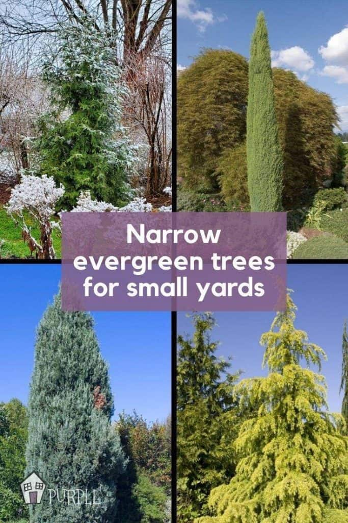 Narrow Evergreen Tree Examples in Grid