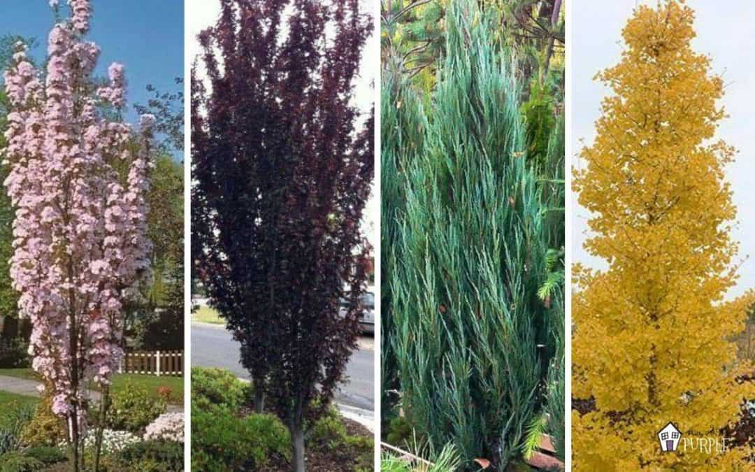Narrow trees for small yards featured