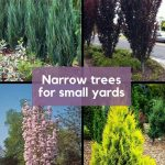Grid of 4 Narrow Trees for Small Yards - Blue Arrow Juniper, Crimson Pointe Flowering Plum, Japanese Flagpole Flowering Cherry Tree, Forever Goldie Arborvitae