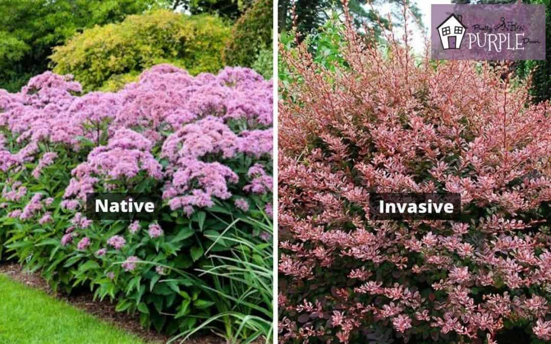 Native plants vs. non-native invasive plants… what's the difference?