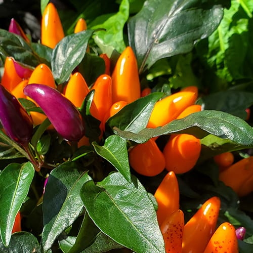 Ornamental Pepper Bush - Orange and Purple Peppers