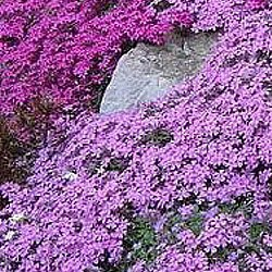 Phlox groundcover looks great cascading over stones or the edges of a stone border.