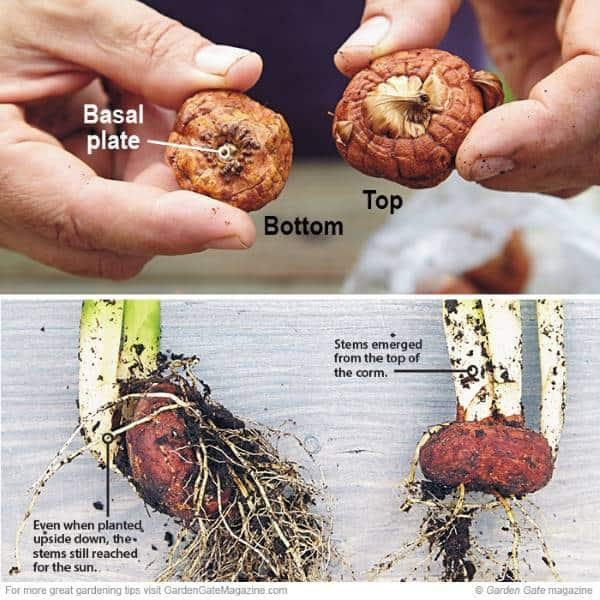 What happens when a bulb is planted upside down