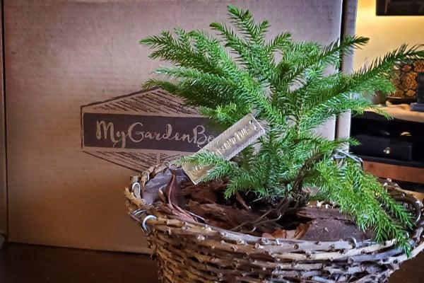 My Garden Box November 2020 Norfolk Island Pine in wicker basket