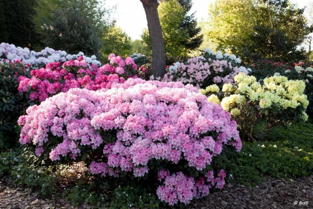 Flowering shrubs rhododendron garden
