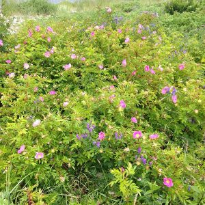 Virginia Rose native shrub with green foliage and small pink flowers