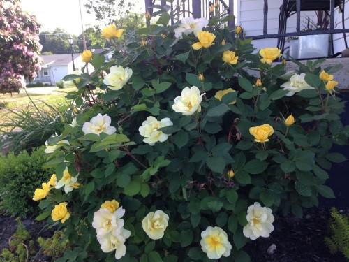 Yellow Knockout Rose Bush