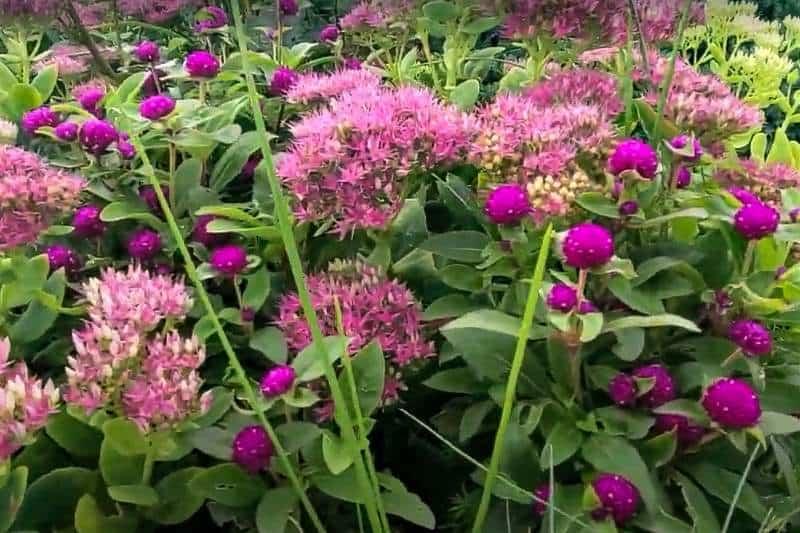 pink sedum autumn joy mixed with circular dark pink flowers