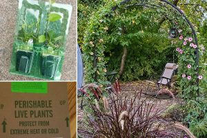 black eyed susan plants shipped and growing on arbor