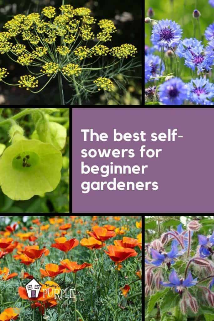 Best self sowing annuals for beginner gardeners to try