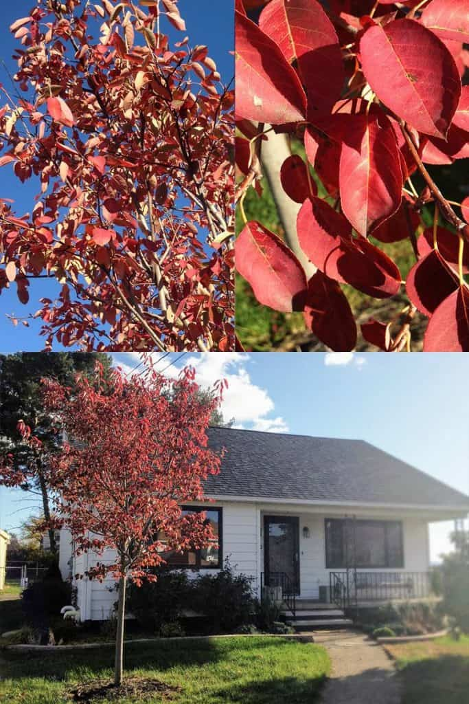 Autumn Brilliance Serviceberry Tree in Autumn