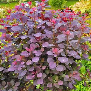 Red-burgundy foliage on a compact shrub.