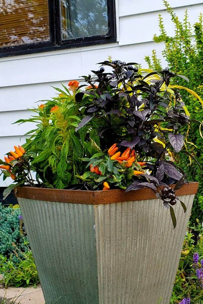 container with dark purple and bright orange peppers in front of a house