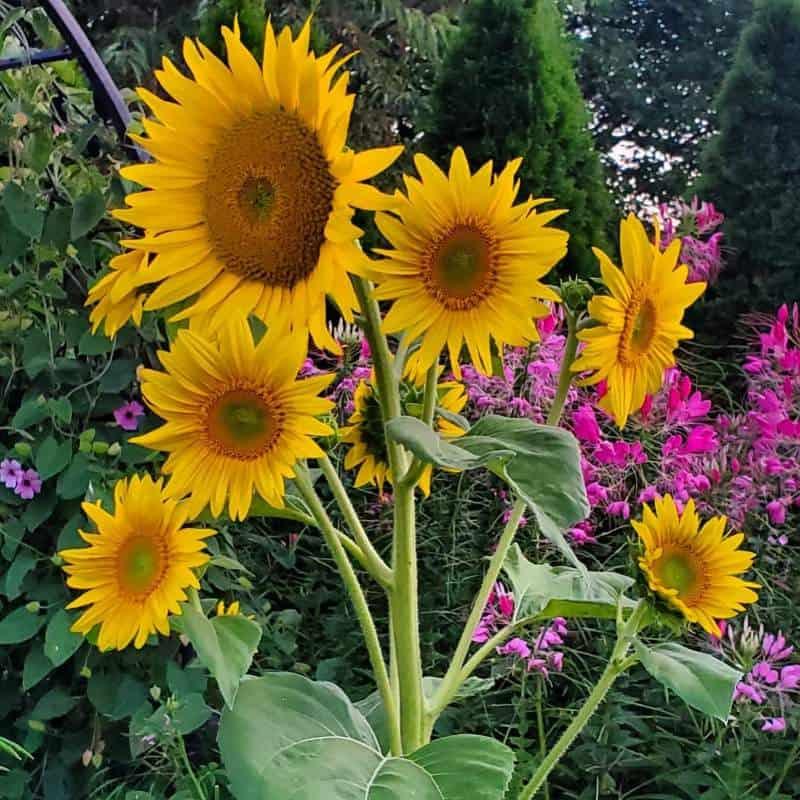 Dwarf sunspot sunflower with 6 heads