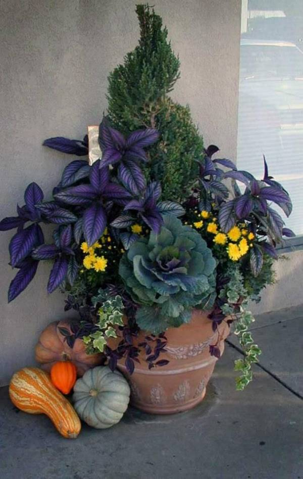 Persian Shield mums, cabbage and ivy surround an evergreen in a container