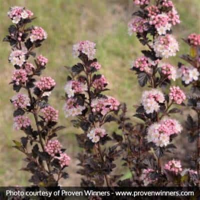 Ninebark Tiny Wine Burgundy Foliage and pink clusters of flowers
