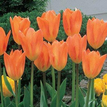 Orange Emperor Tulip
