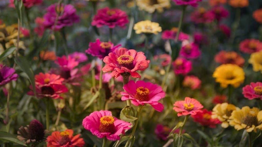 Zinnias - Analogous garden color schemes